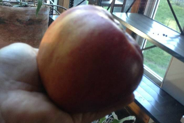 Growing bigger apples with ORMUS