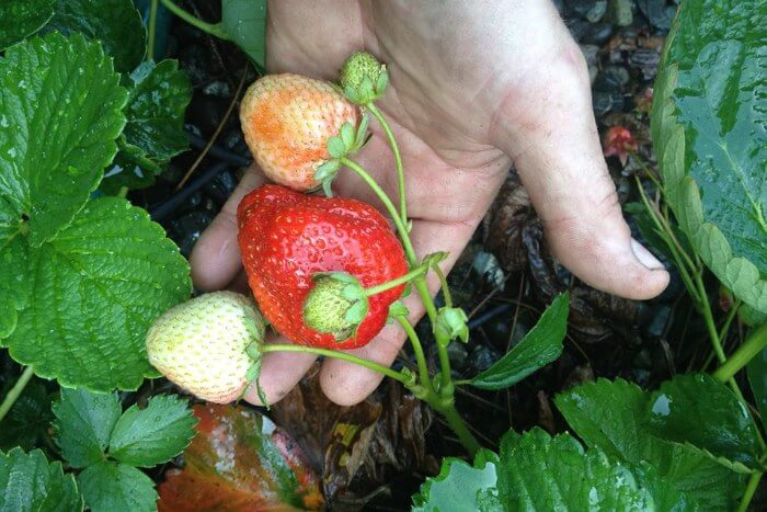 Growing bigger strawberries with ORMUS